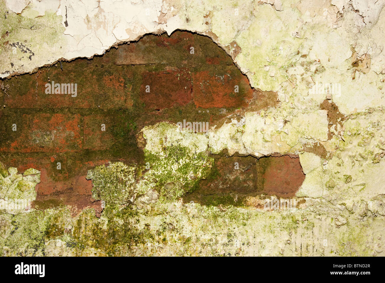 Plaster peeling from damp walls showing algal and fungal growth Cotswolds UK - Stock Image