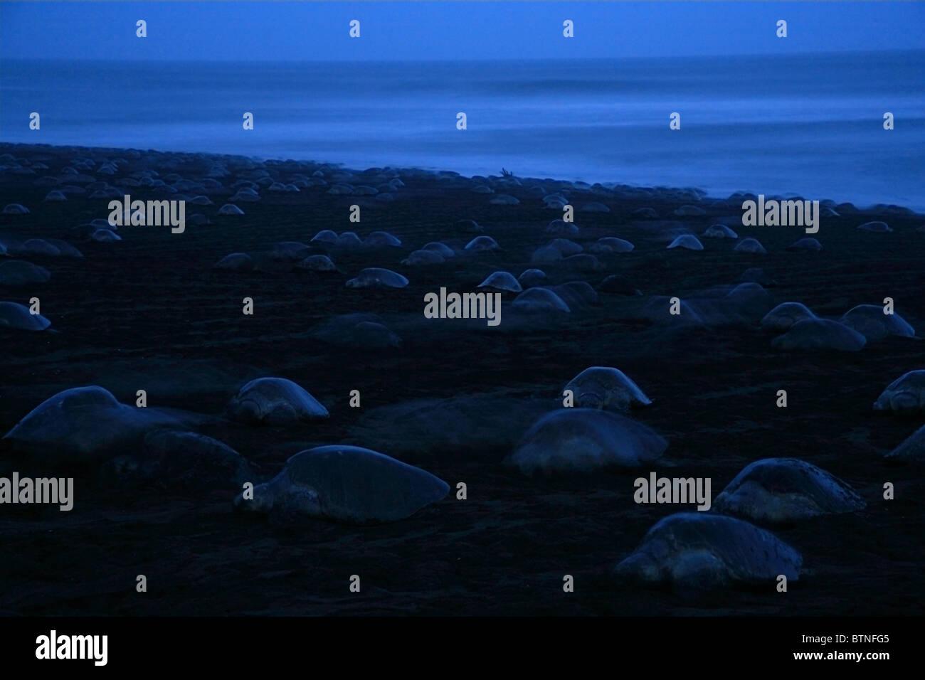 Arribada of Olive Ridley Turtles (Lepidochelys olivacea) return to ocean at dusk after nesting.  Playa Ostional, - Stock Image