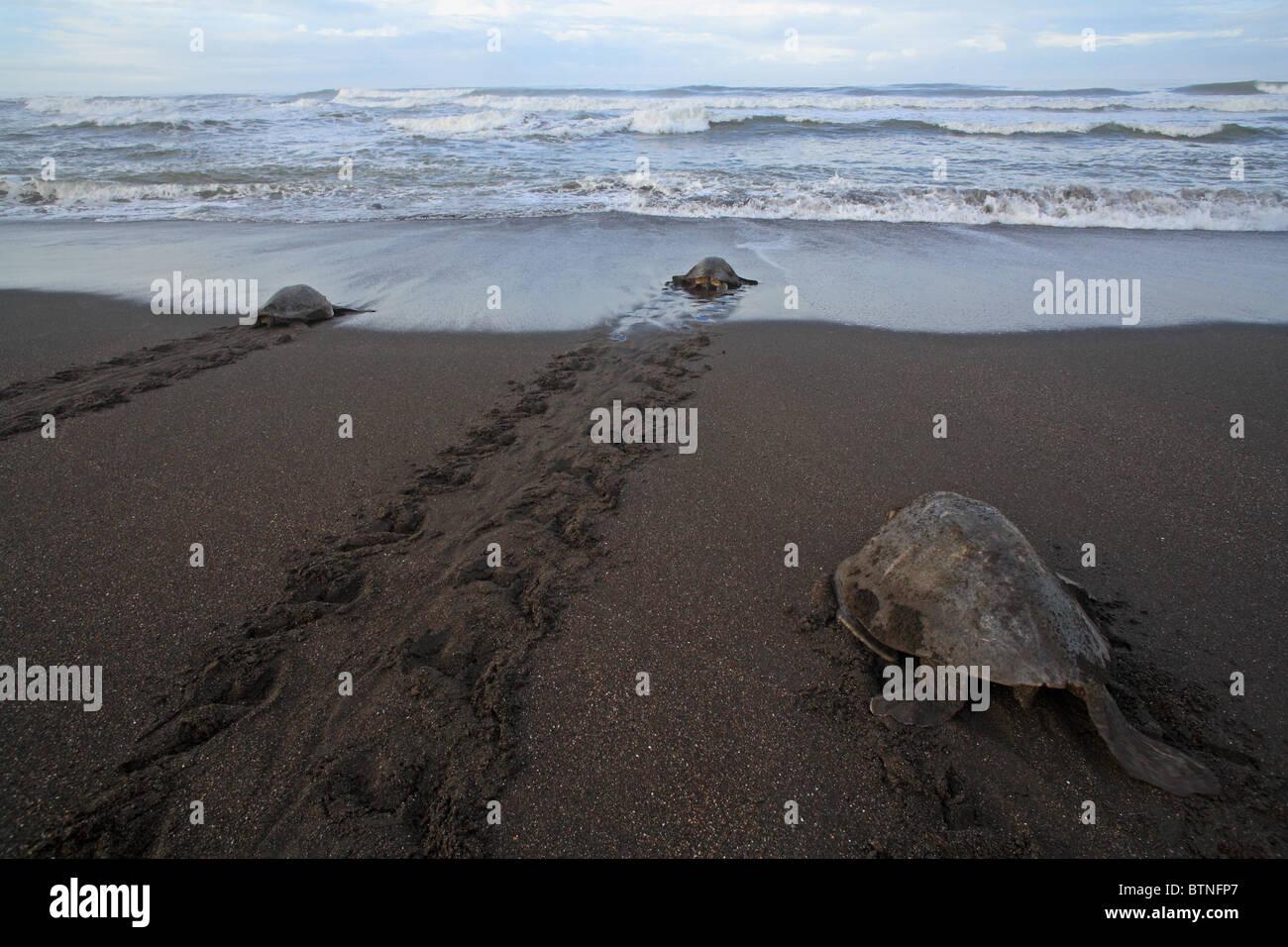 Olive Ridley Turtles (Lepidochelys olivacea) return to sea after nesting during arribada. Playa Ostional, Guanacaste, - Stock Image
