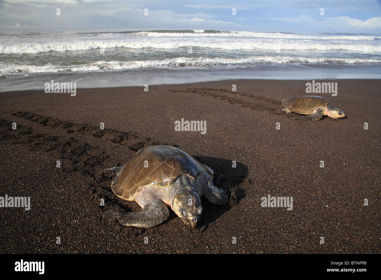 Olive Ridley Turtles (Lepidochelys olivacea) come ashore to lay eggs during arribada.  Playa Ostional, Guanacaste, - Stock Image