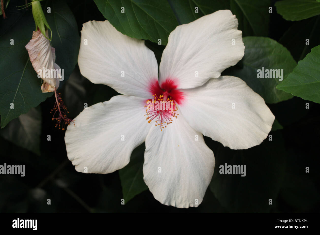 Flower white jamaica stock photos flower white jamaica stock white hibiscus flower stock image izmirmasajfo