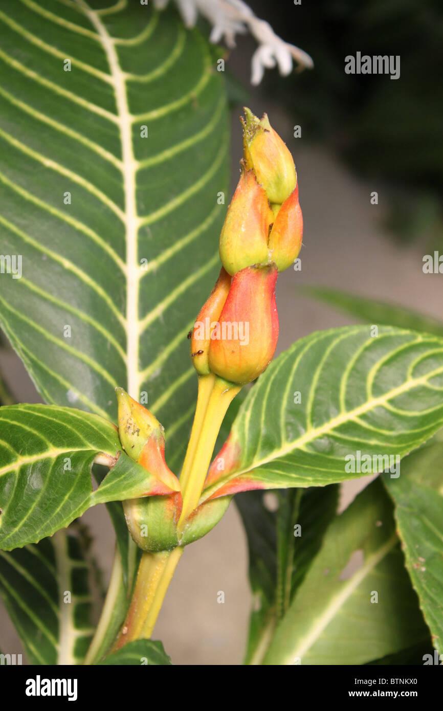 Aphelandra Squarrosa: Aphelandra Flower Stock Photos & Aphelandra Flower Stock
