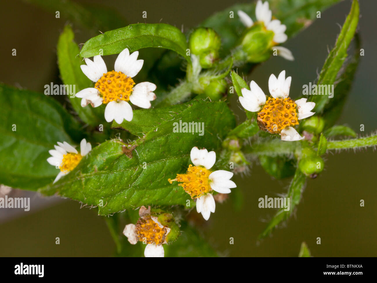 Gallant Soldier, Galinsoga parviflora; widespread introduced weed from South America. - Stock Image