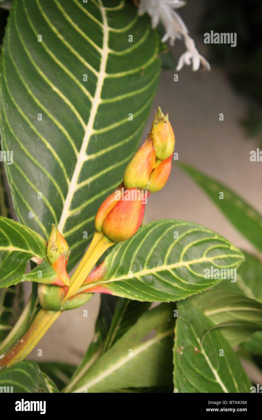 Aphelandra Squarrosa: Acanthaceae Stock Photos & Acanthaceae Stock Images