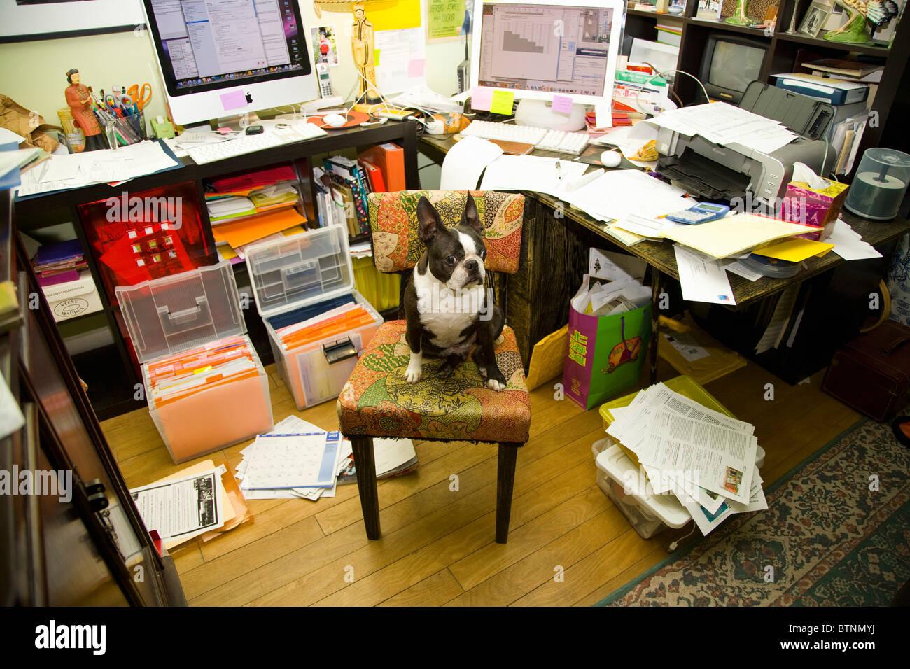 Boston terrier sitting at messy desk - Stock Image