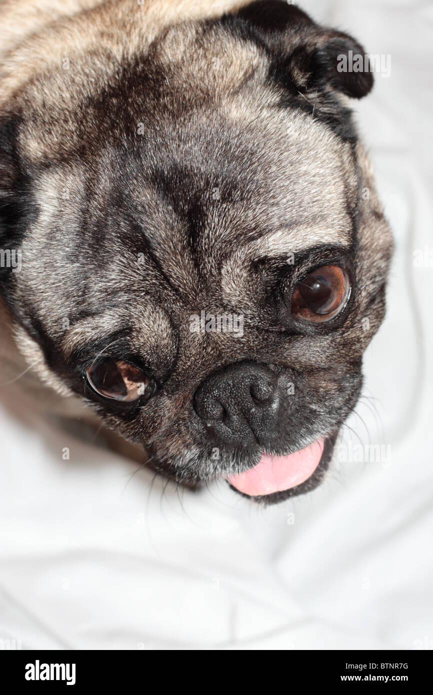 A Pug's Smile - Stock Image