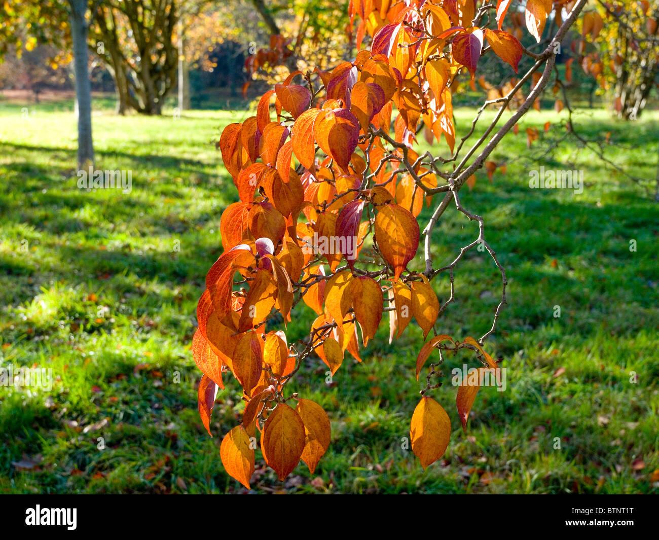Leaves Of A Chinese Dogwood Tree Cornus Kousa Var Chinensis Turned