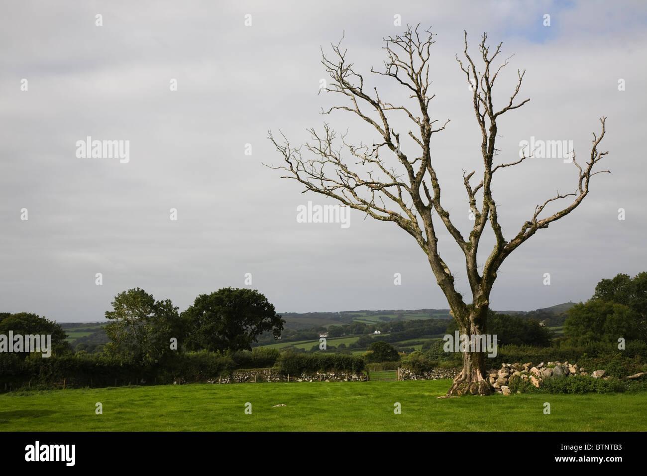 Lonesome tree on Dartmoor meadow - Stock Image