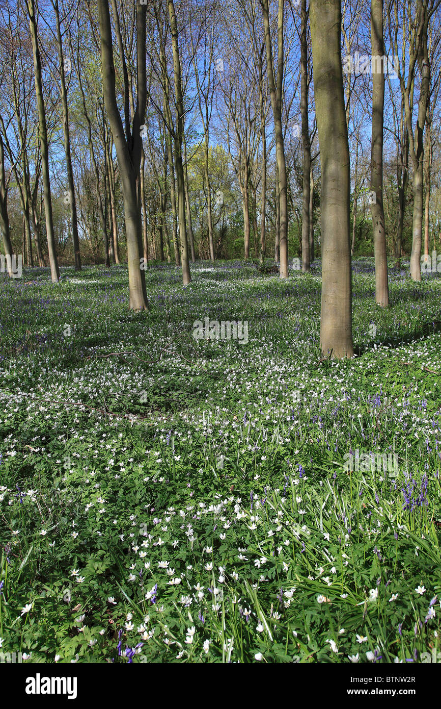 Spring Flowers In Woodland Scenery Sherwood Forest Nottinghamshire