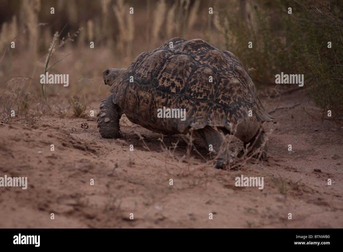 a tortoise walking on sand in the kalahari desert - Stock Image