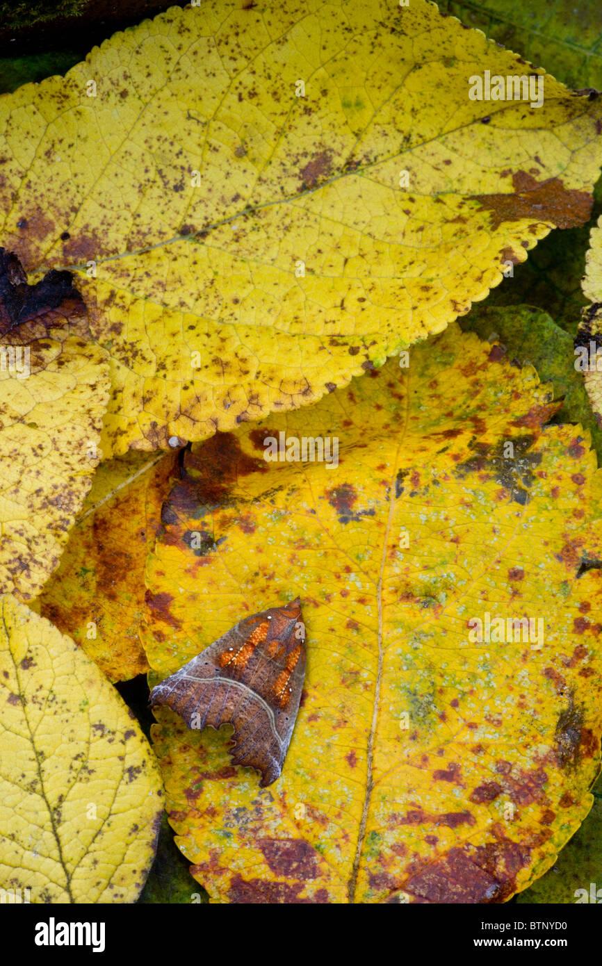 Herald Moth Scoliopteryx libatrix in autumn, before hibernation. Dorset. - Stock Image