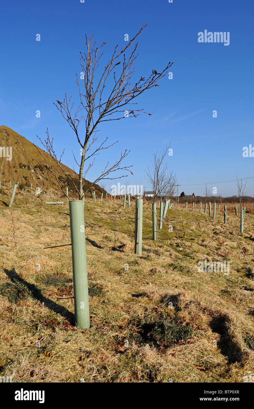 saplings protected with plastic tubes on reclaimed land near St.Austell in Cornwall, UK - Stock Image