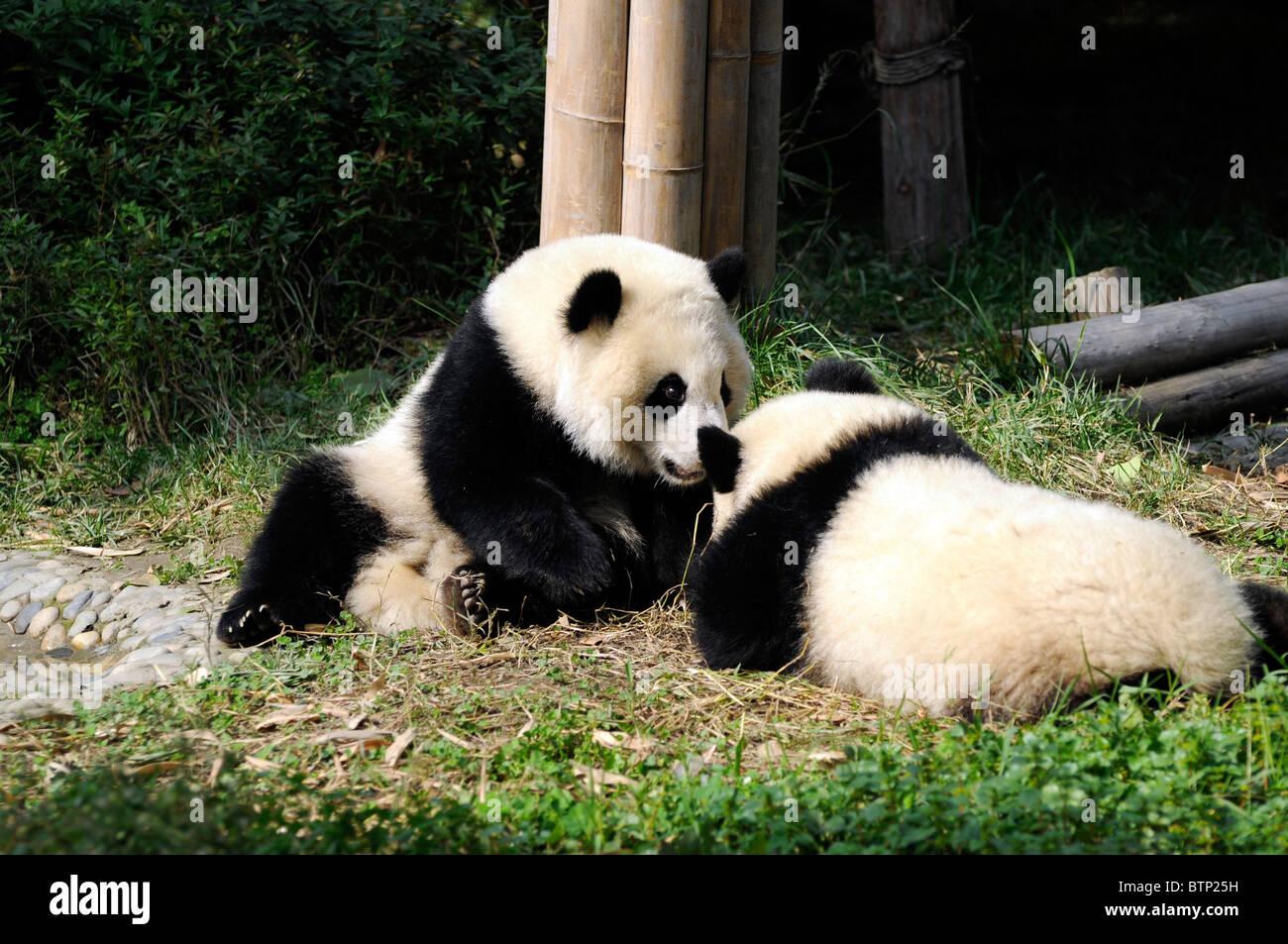 Giant Pandas (Ailuropoda melanoleuca) at Chengdu Panda Breeding Reserve, Sichuan province, China - Stock Image