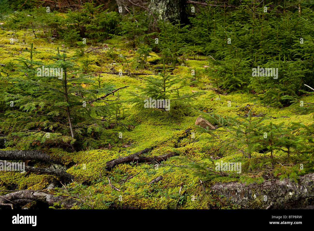 Seedling conifer trees, Pretty Marsh, Acadia NP, Maine, - Stock Image