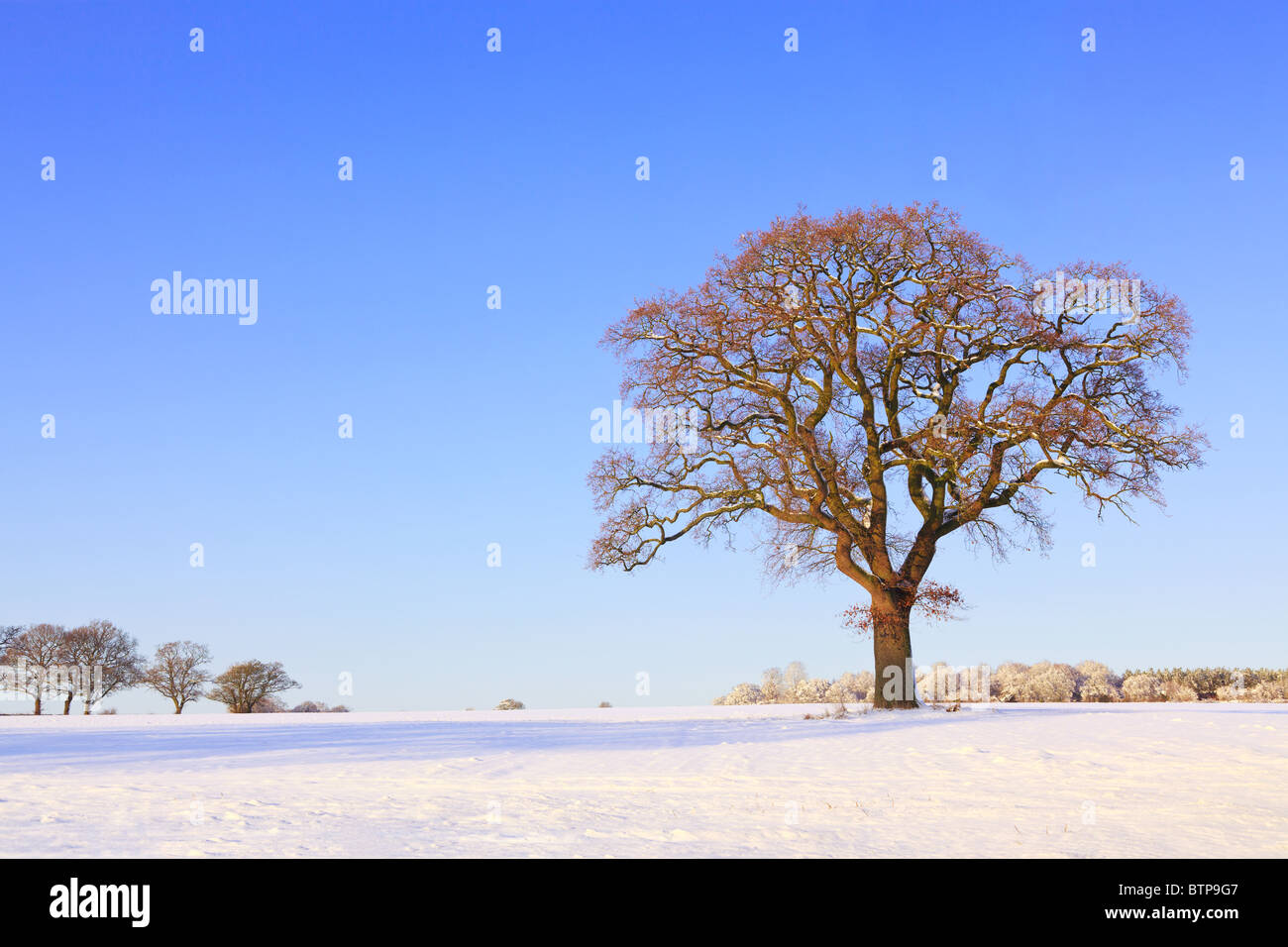 Landscape photo of a single oak tree in a snow covered field as the sun sets on a cold winter afternoon. - Stock Image