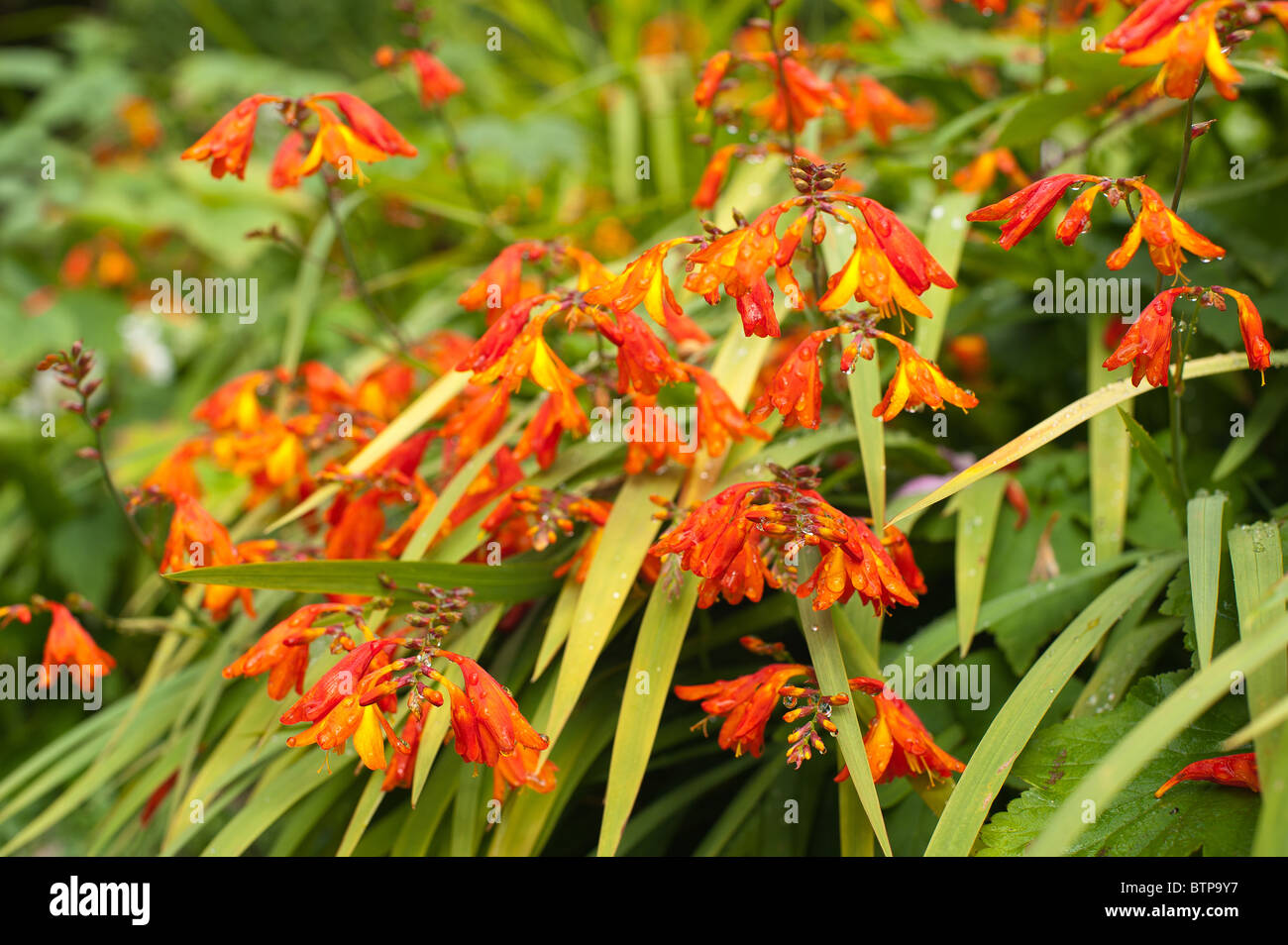montbretia Crocosmia perennial genusiris family Iridaceae native to grasslands of Cape Floristic Region South Africa Stock Photo