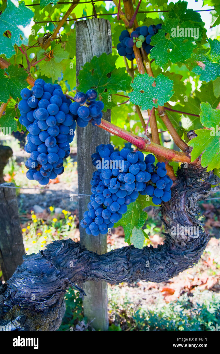 Bordeaux Grapes, Gironde, France - Stock Image