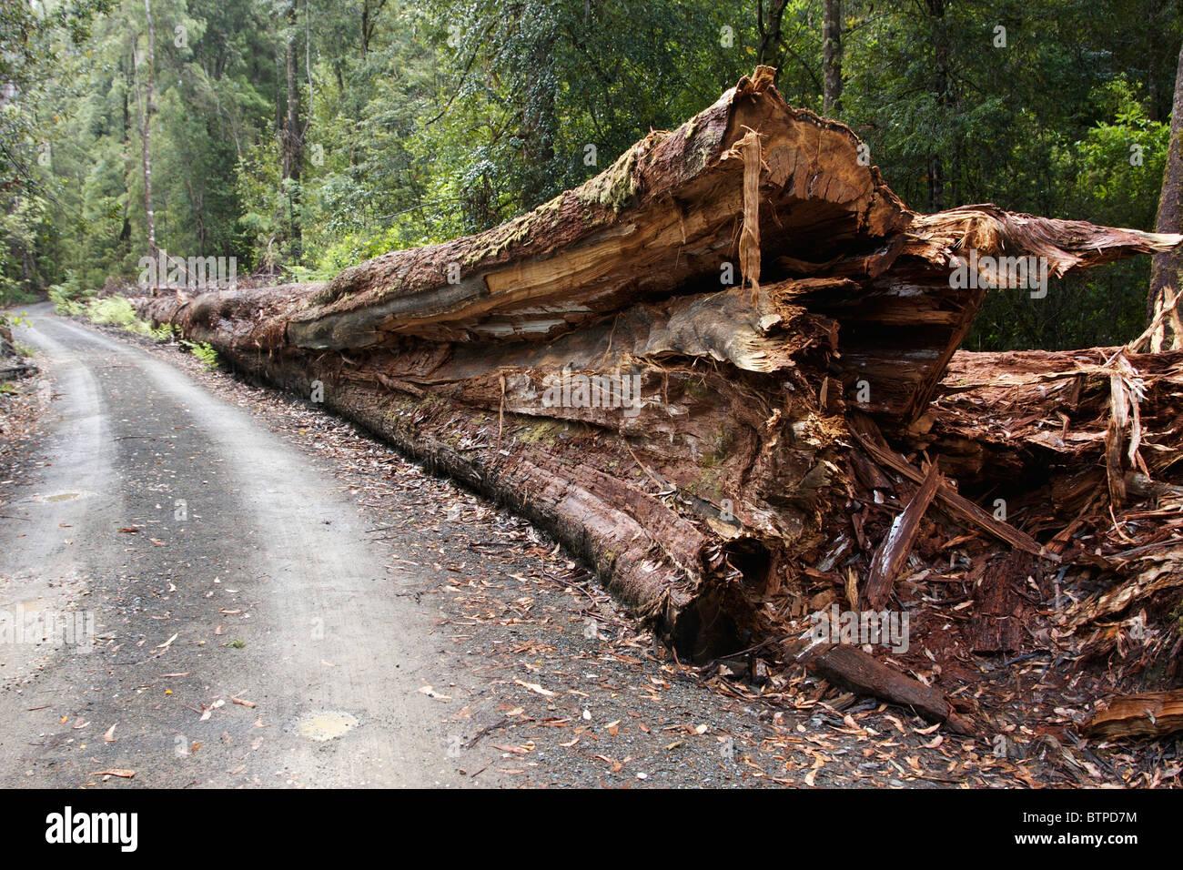 Australia, Tasmania, Tahune, Fallen tree Stock Photo