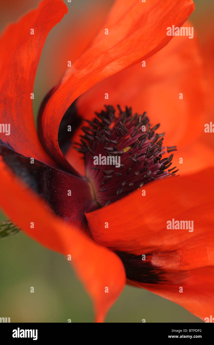 A single red oriental poppy flowerhead - Stock Image