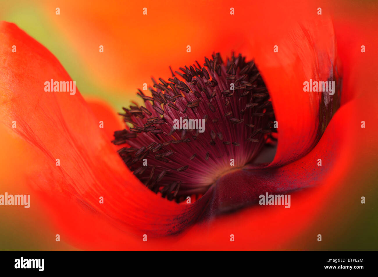 A single red oriental poppy flowerhead - Stock Image