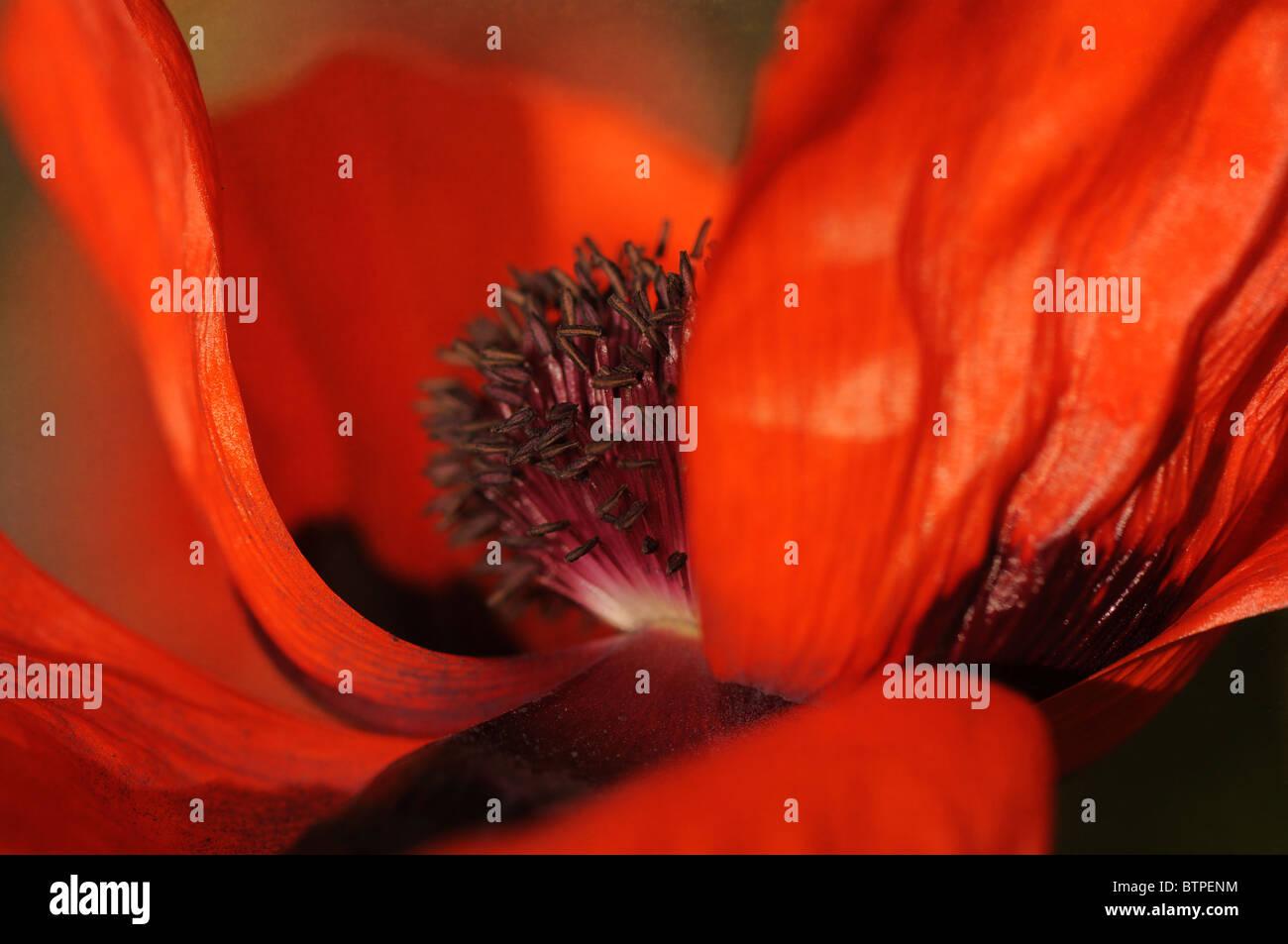 Single red oriental poppy - Stock Image