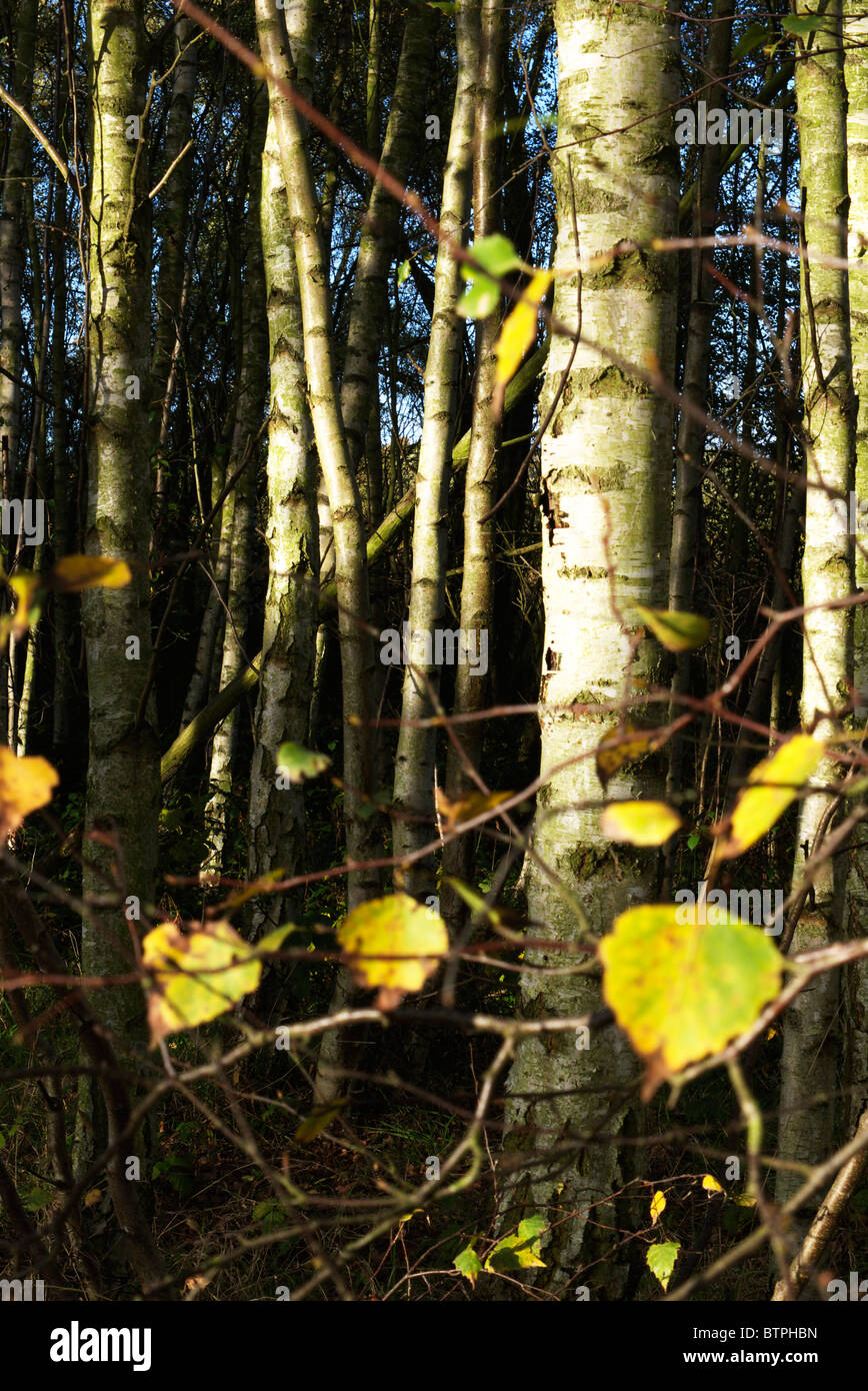 The last of the leaves from the silver birch tree Stock Photo