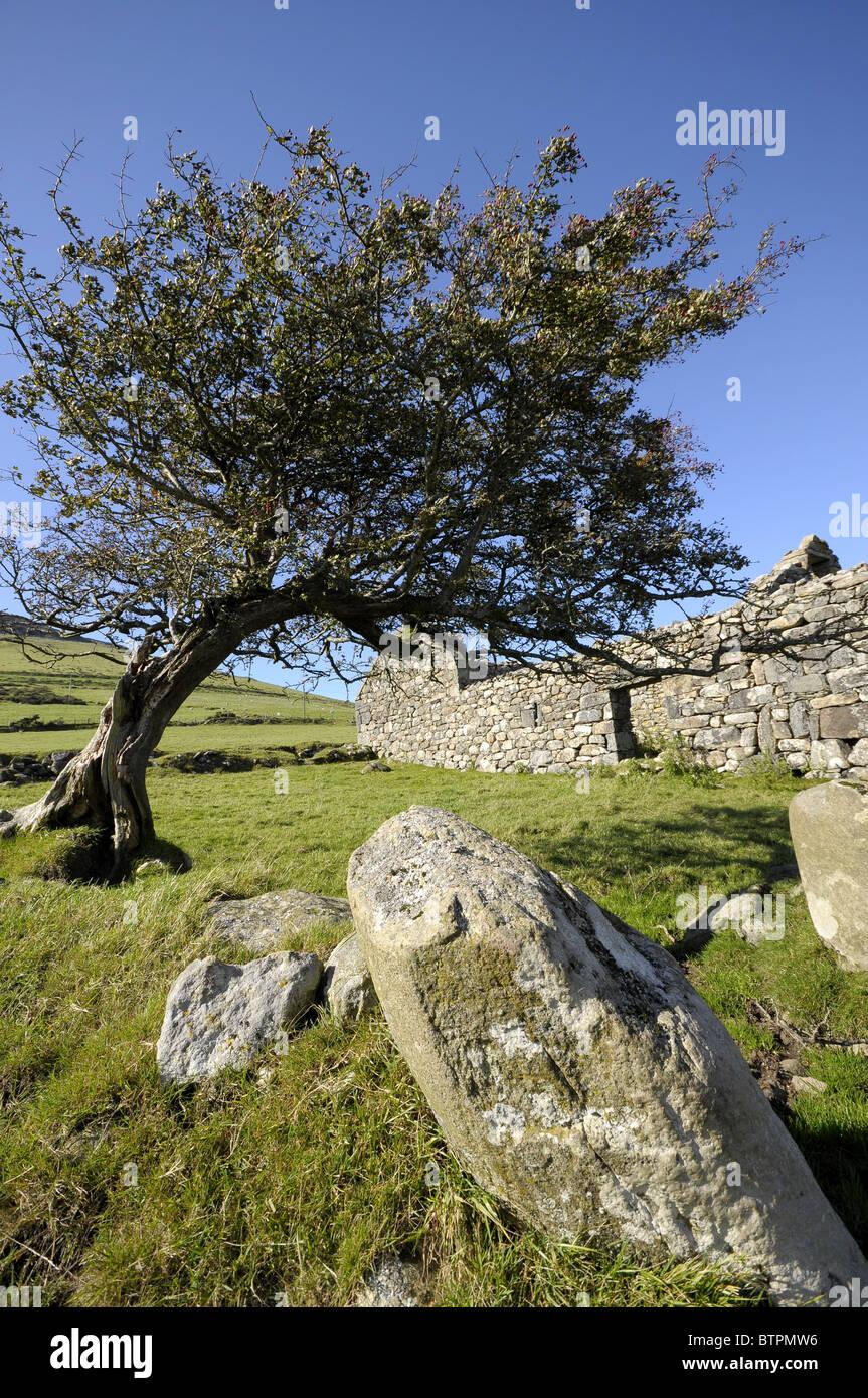 Hawthorn Tree Bwlch Mawr Clynnog Fawr Lleyn Peninsula North Wales UK - Stock Image