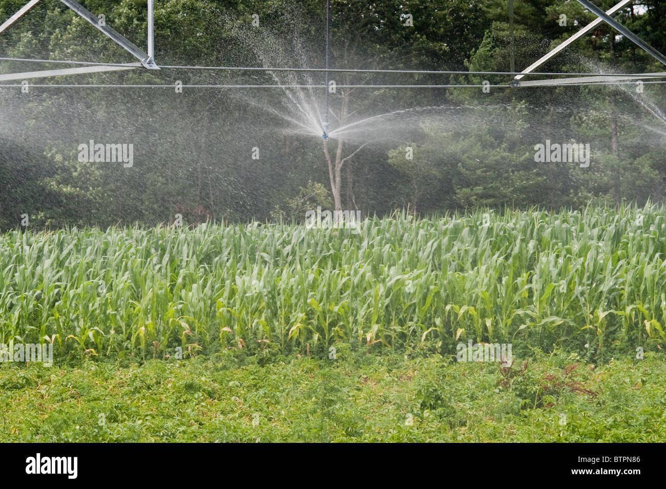 Field of potatoes with pivot irrigation system - Stock Image