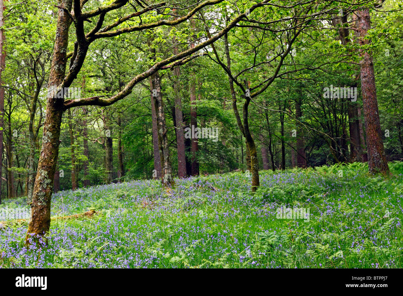 Bluebell Wood near Loweswater in the Lake District National Park, Cumbria, England. Stock Photo
