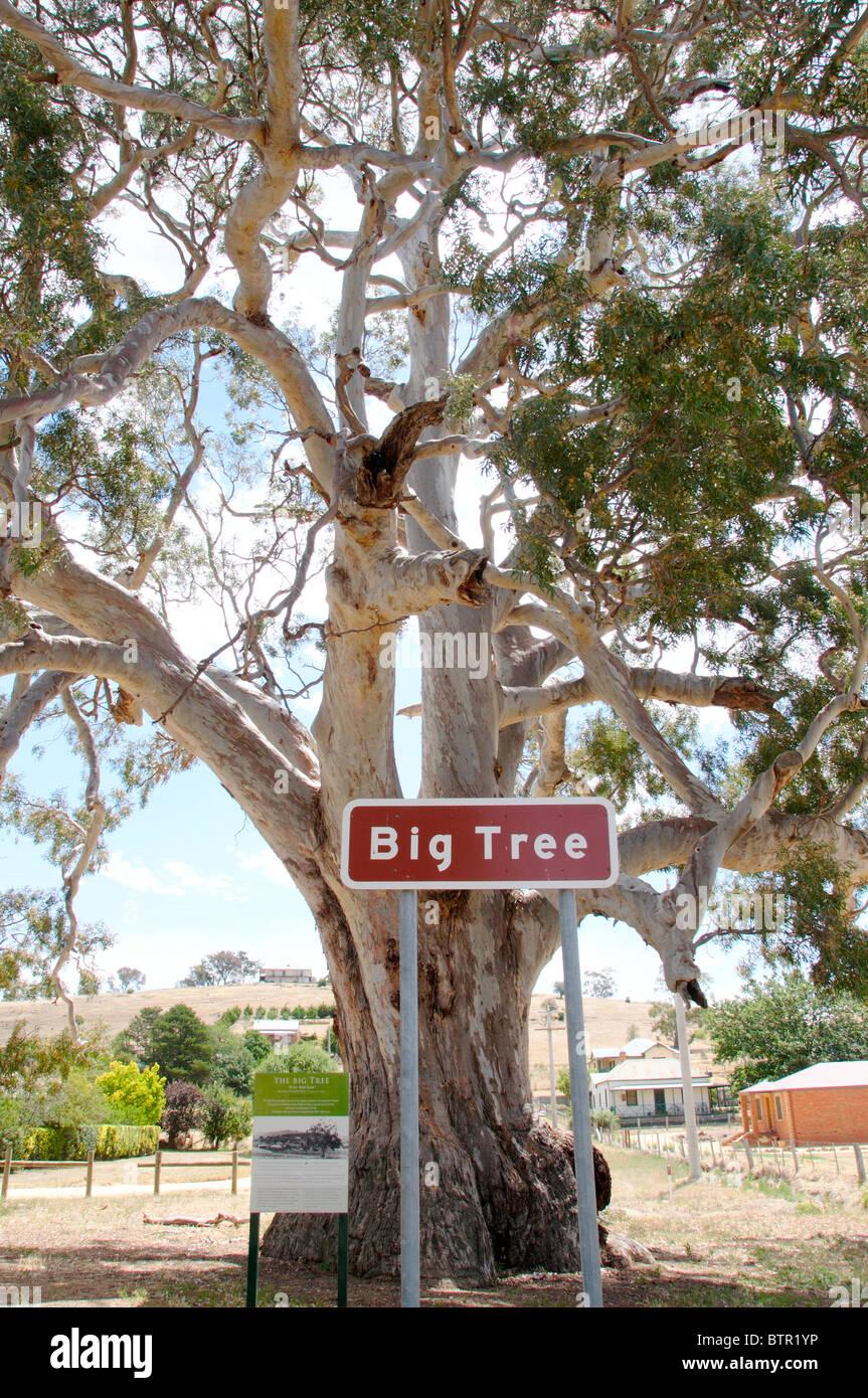 Australia, Central Victoria, Guildford, Big Tree (River Red Gum) - Stock Image