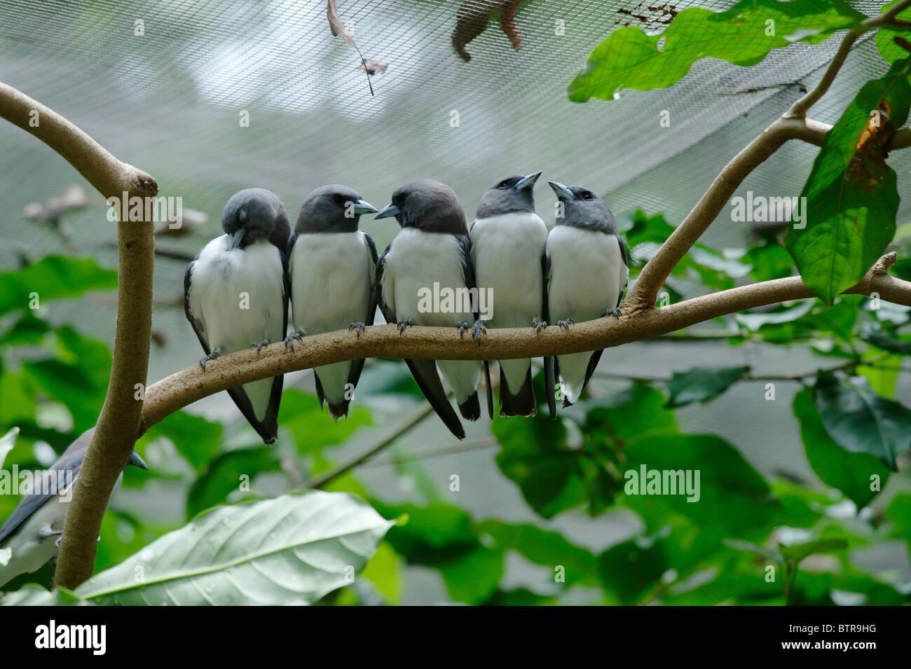 Australia, Territory Wildlife Park, Row of birds perching on tree - Stock Image