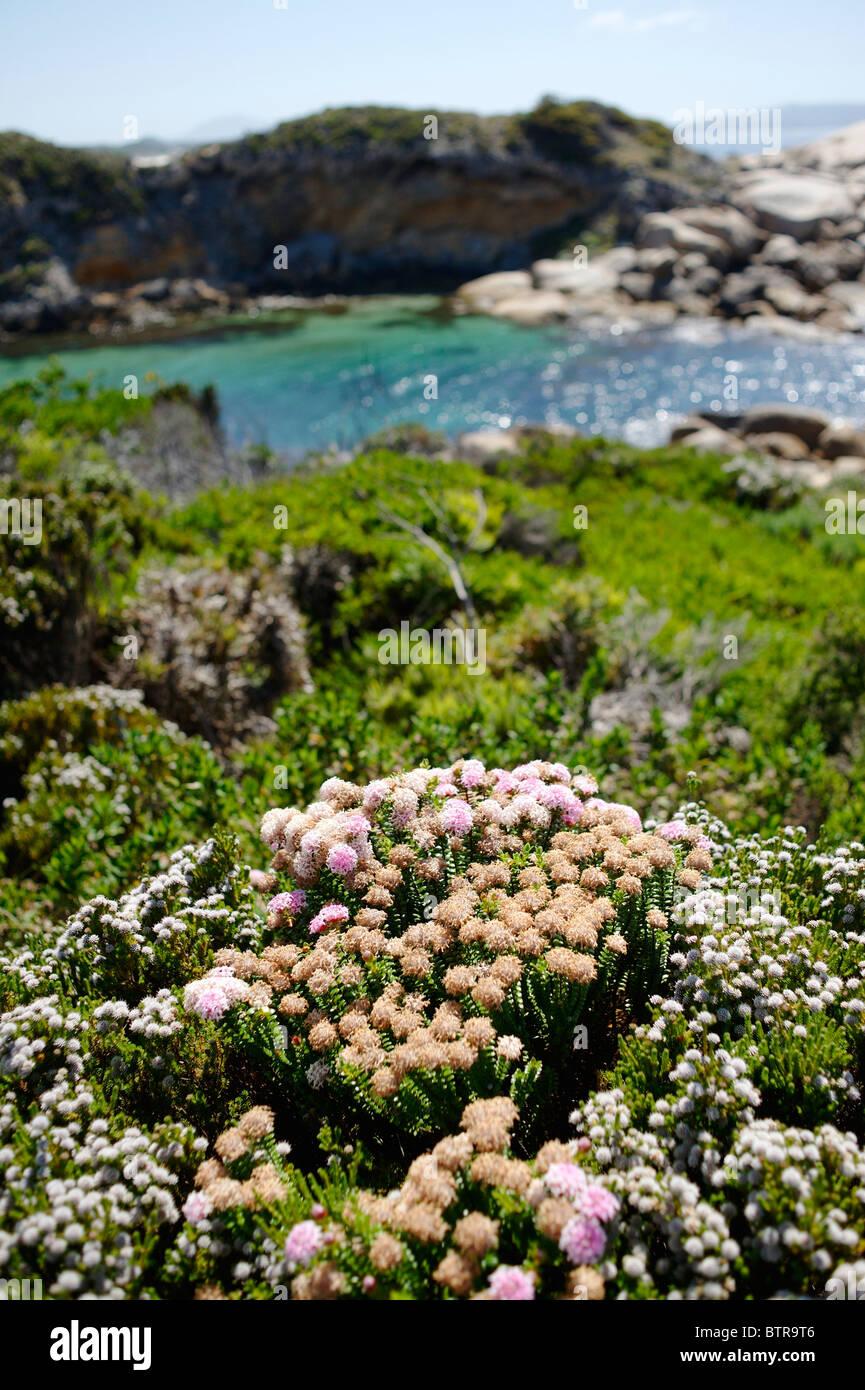 Australia, Nanarup Beach, Wildflowers - Stock Image
