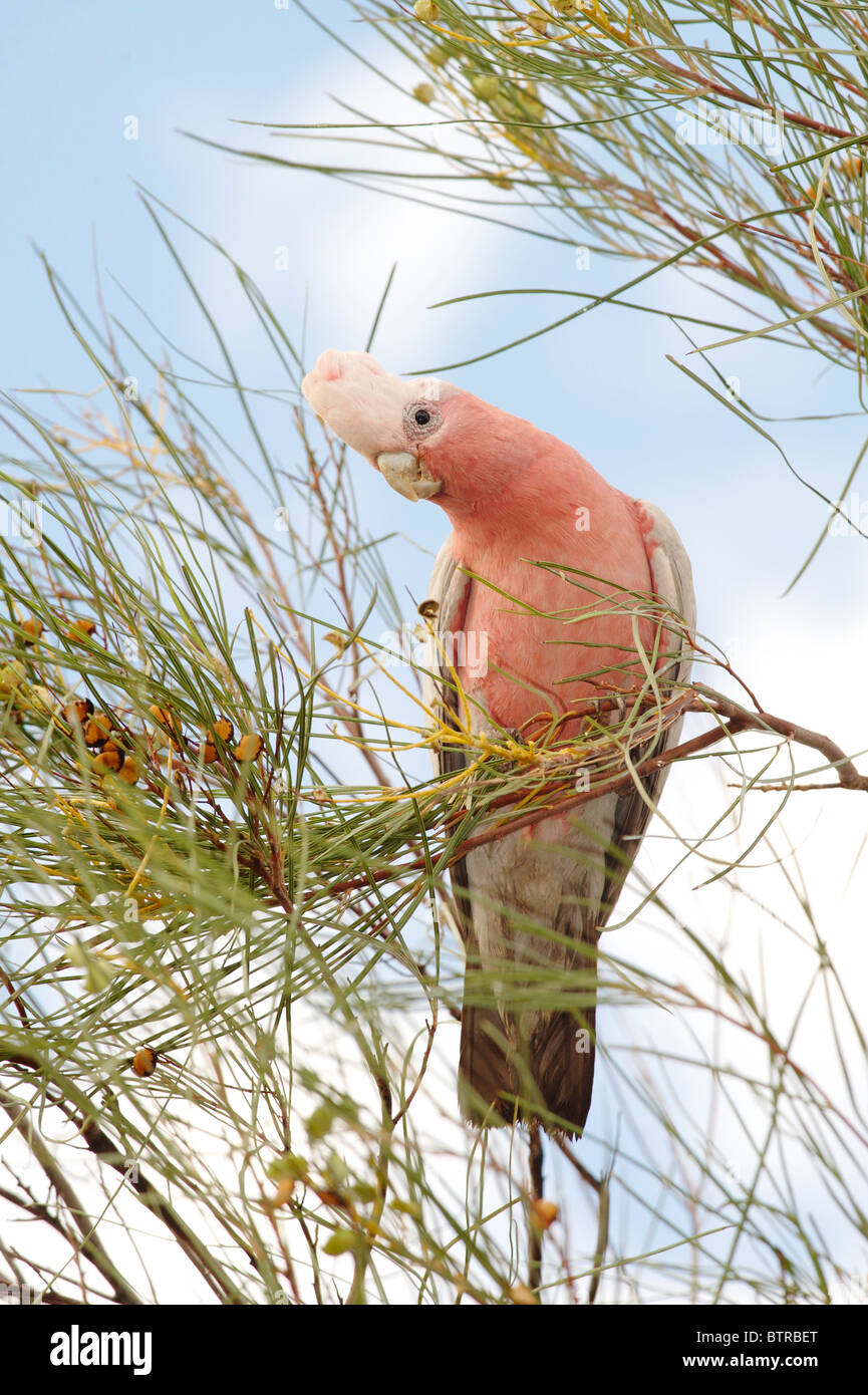 Australia, Northern Territory, Uluru, Galah Bird on branch - Stock Image