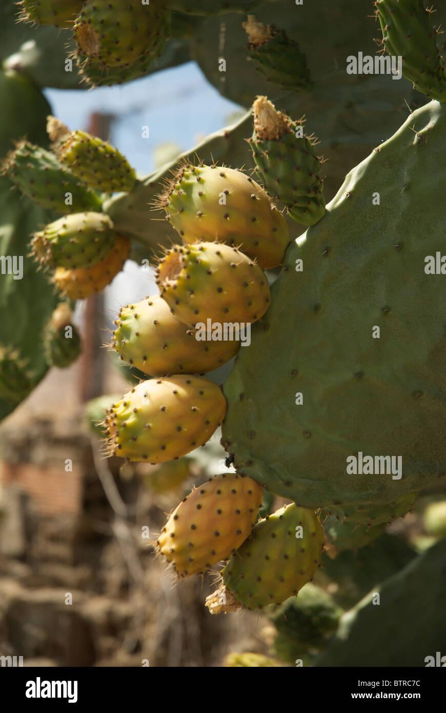 Spain, Logrosan, Generic prickly pear cactus Stock Photo