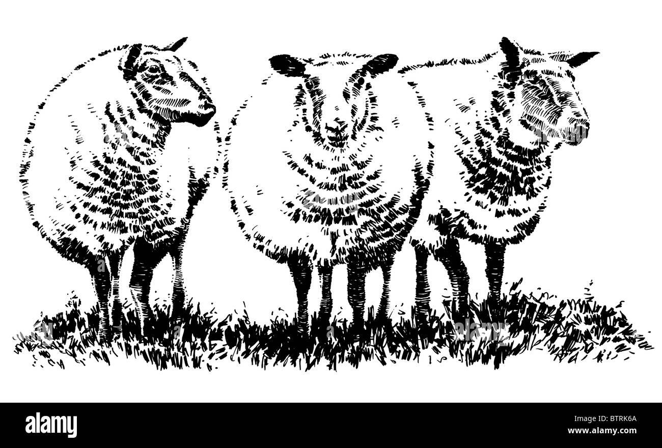 Line Drawing Sheep : Line drawing of sheep stock photo alamy