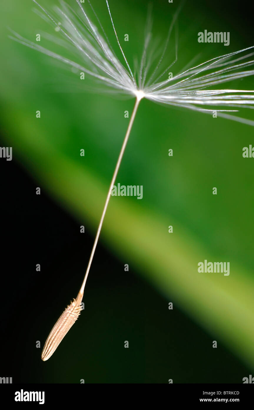 blowball seed flying through the air stock photo 32482253 alamy