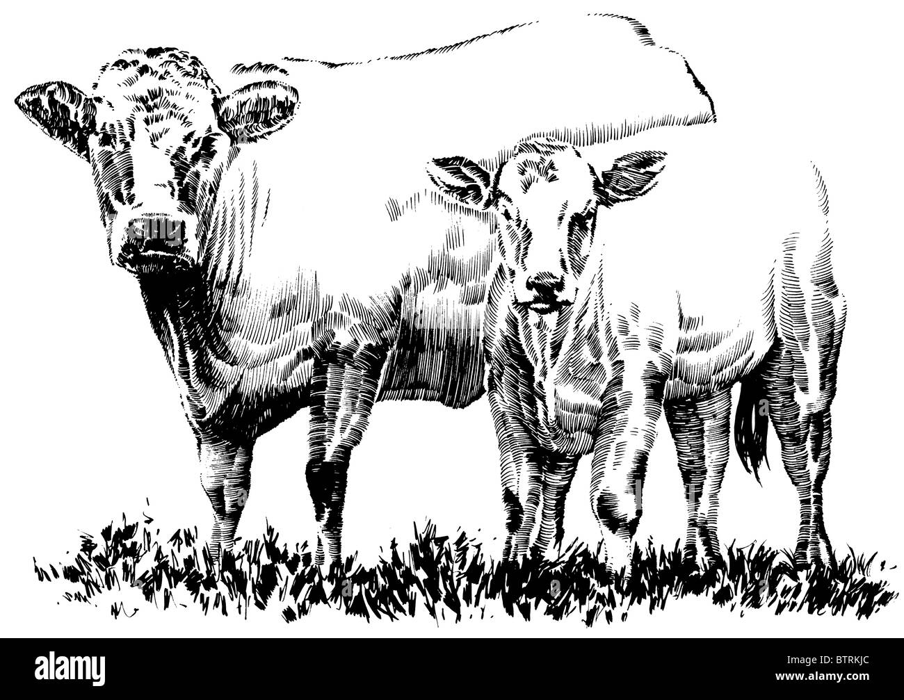 Line Drawing Of Cow And Calf