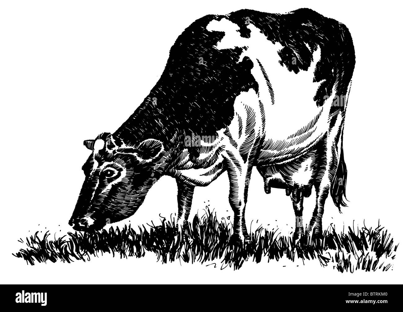 Line Drawing Grass : Line drawing of friesian cow stock photo  alamy
