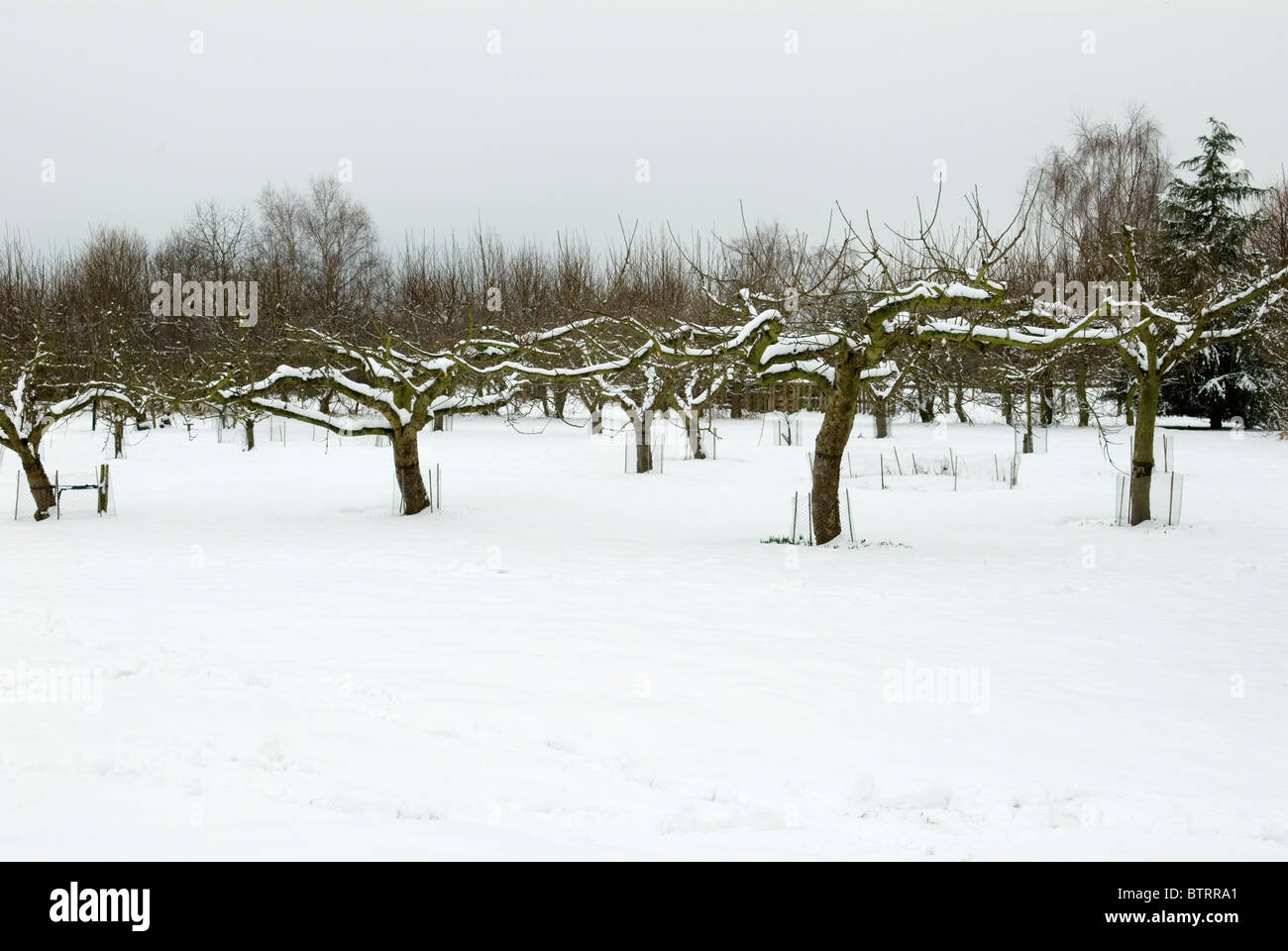 ORGANIC GARDENS RYTON WINTER IN THE APPLE ORCHARD - Stock Image