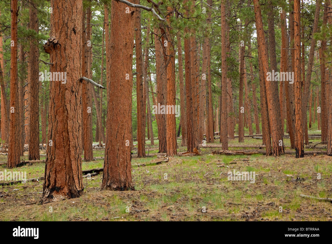 Mature ponderosa pine forest at Fire Point, area burned by frequent fires on North Rim of Grand Canyon National - Stock Image
