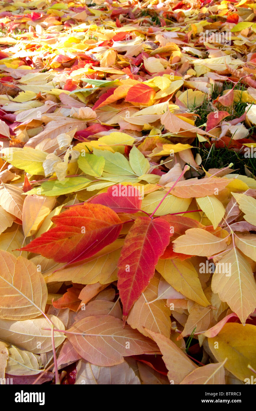Colorful autumn leaves on the ground in Boise, Idaho, USA. - Stock Image