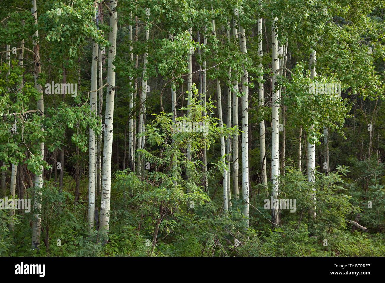 Aspen grove near Hawley Lake, Fort Apache Indian Reservation, Whiteriver, Arizona, USA - Stock Image