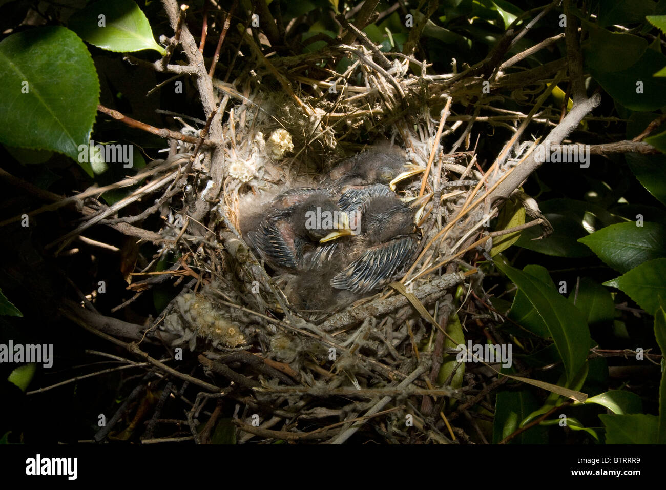 Three Very Young Northern Mockingbird Chicks in Nest Stock Photo