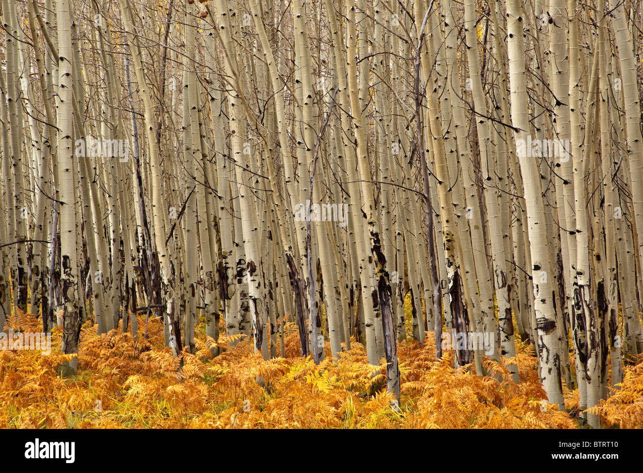 Grove of aspen trees with understory of ferns, autumn on the San Francisco Peaks, Coconino National Forest, USA - Stock Image
