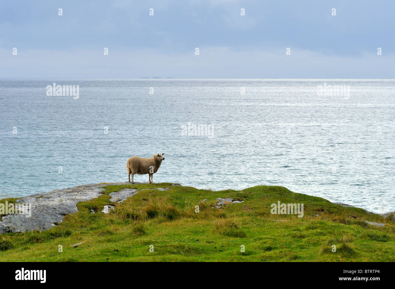A sheep standing on a grass hill by the sea. Lofoten islands, North Norway - Stock Image
