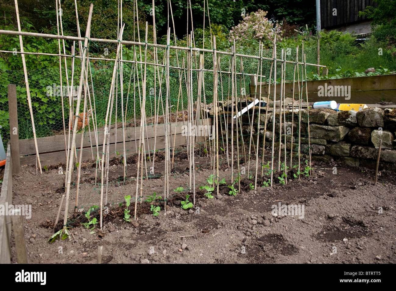 Runner beans emerging in vegetable plot with a cane frame over them for them to grow up - Stock Image