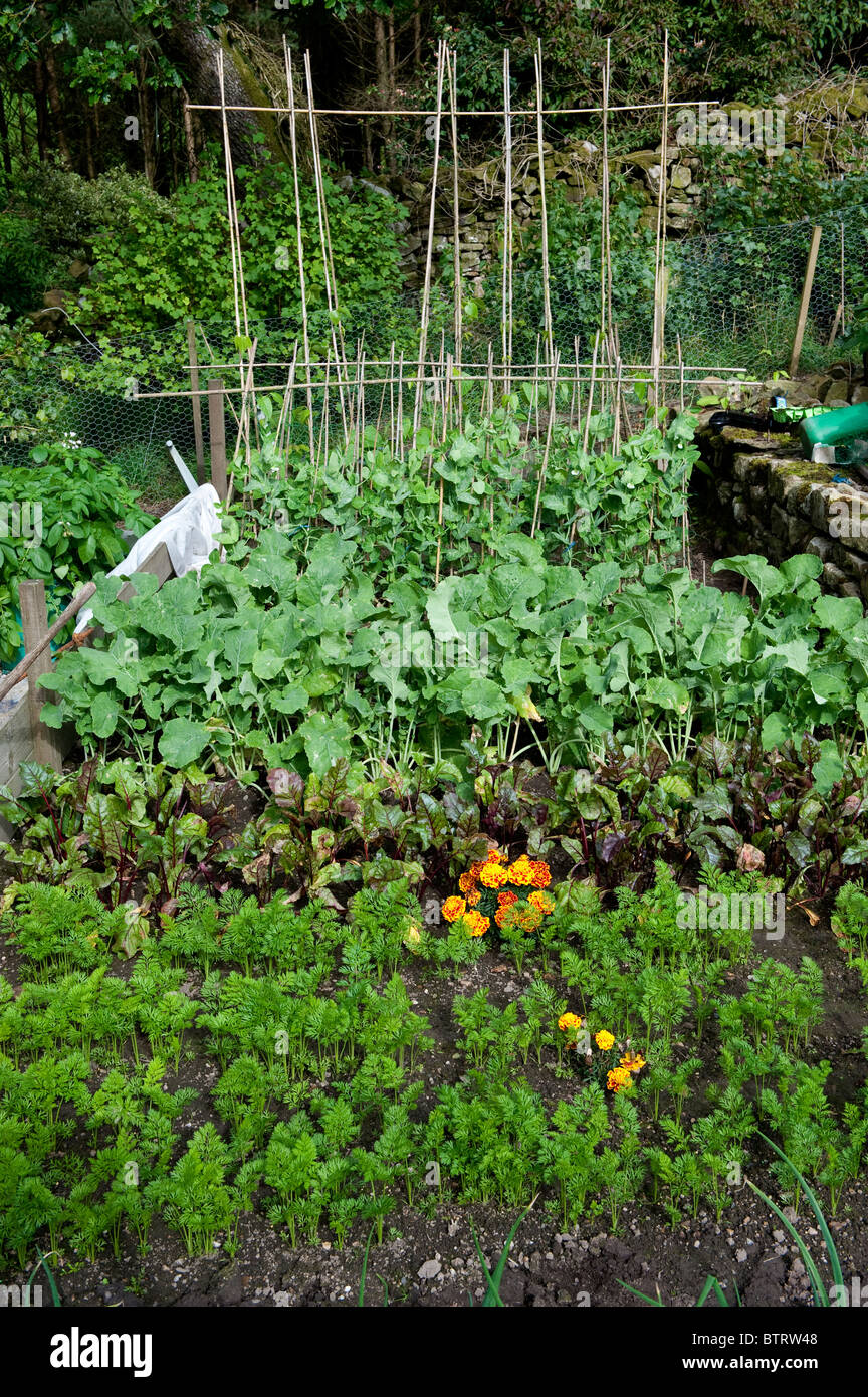 Home vegetable plot with various vegetables growing - Carrots, Beetroot, turnip and beans - Stock Image