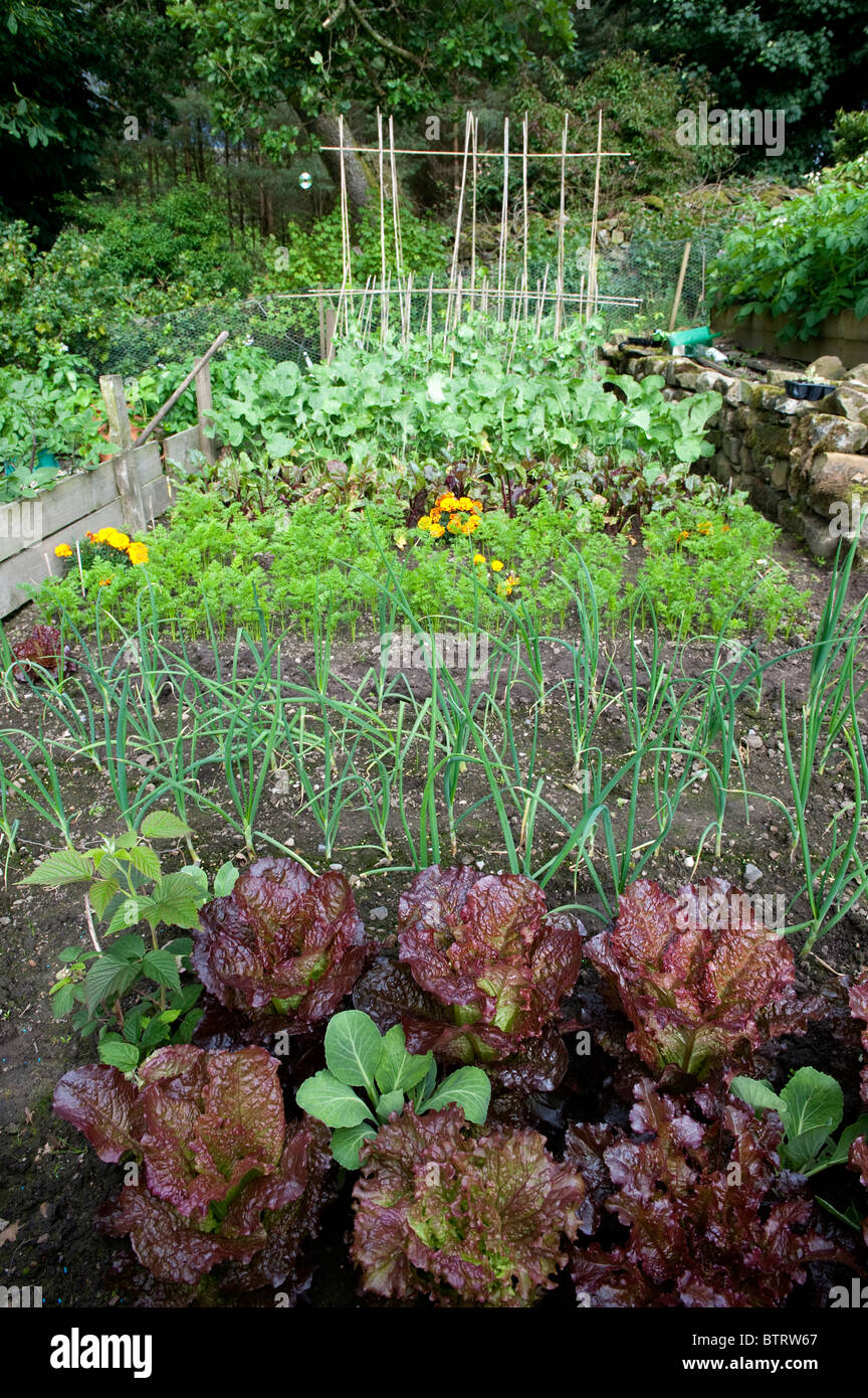 Home vegetable plot with various vegetables growing - Carrots, beetroot, swede, beans, leeks and Red Cabbage - Stock Image