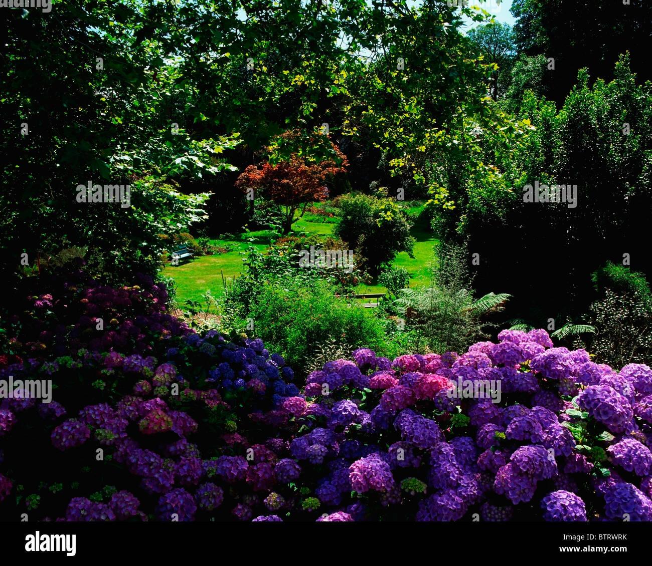 Creagh, Baltimore, Co Cork, Ireland; Blue Hydrangea - Stock Image