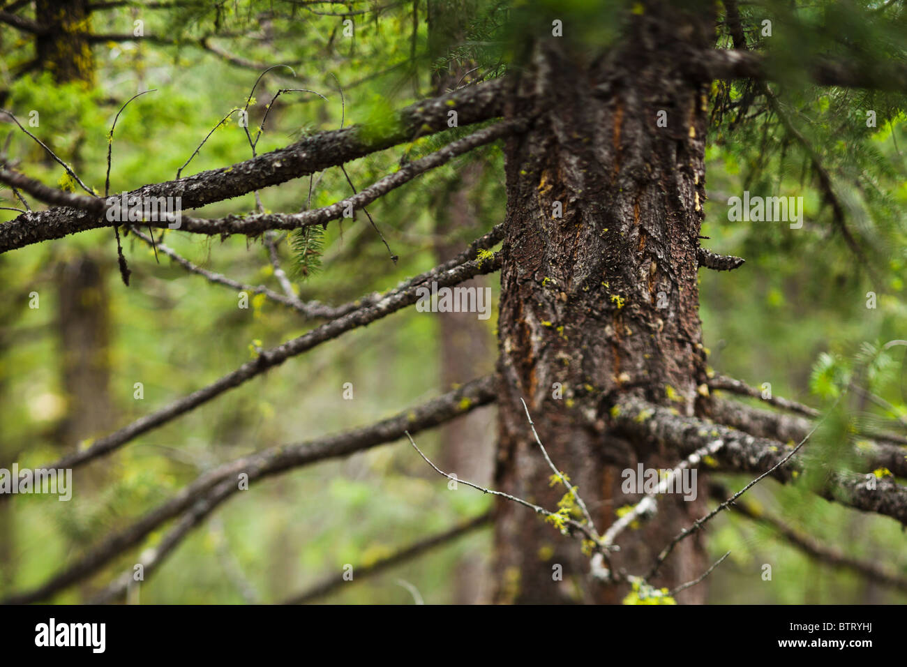 Narrowly focused view of a tree and branches in a forest. Eastern Cascades of Washington State, USA. - Stock Image